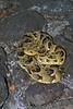 African Puff Adder, Bitis arientans, Nairobi Snake Park, Nairobi, Kenya, Africa, most dangerous snake in Africa, venomous, viper