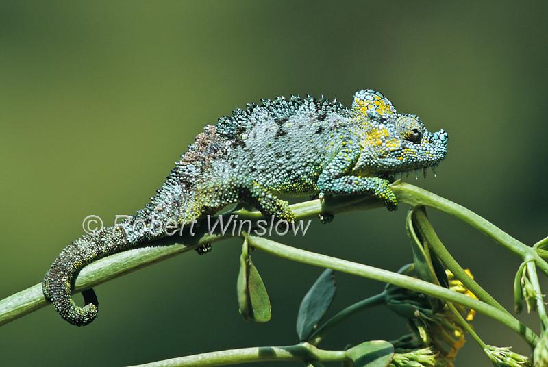 Male, Von Hohnels Chameleon, Chamaeleo hoehnelii, Aberdare Mountains, Kenya, Africa