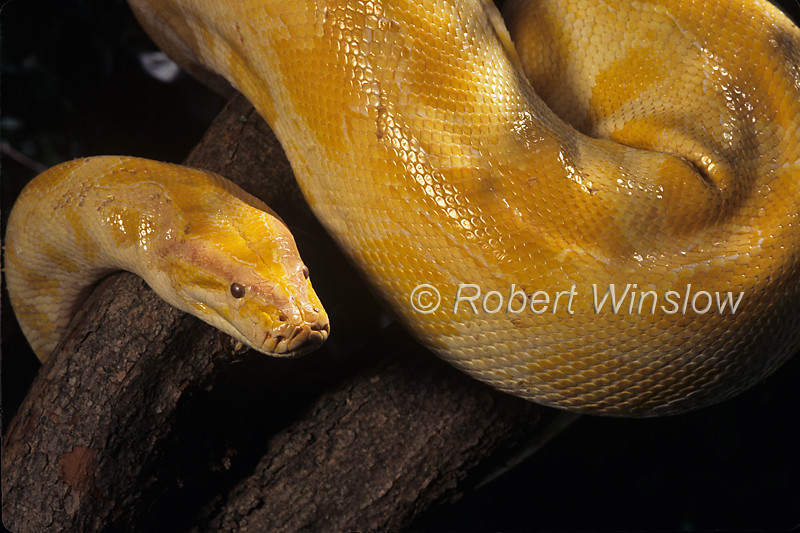 Albino Burmese python, Python molurus bivittatus, Southeast Asia Native, Controlled Conditions