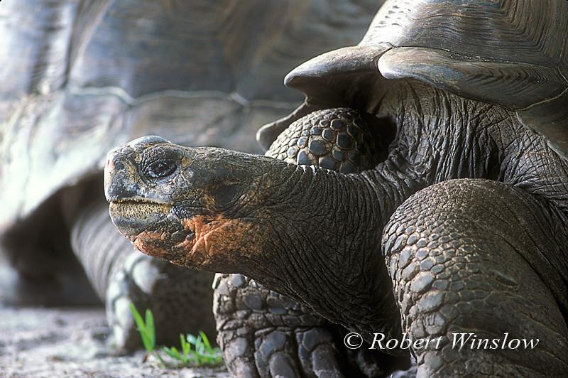 Galapagos Tortoise (Geochelone elephantopus), Charles Darwin Research Station, Santa Cruz Island, Galapagos Islands, Ecuador
