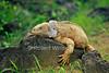 Santa Fe Land Iguana, Barrington Land Iguana, Santa Fe Island, Galapagos Islands, Ecuador, South America, Pacific Ocean, vulnerable species