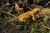 Santa Fe Land Iguana, Barrington Land Iguana, Santa Fe Island, Galapagos Islands, Ecuador, South America, Pacific Ocean, vulnerable species