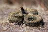 Mojave Rattlesnake, Crotalus scutulatus, Sometimes also refered to as Mojave Green Rattlesnake