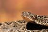 Western Diamondback Rattlesnake, Crotalus atrox, Southwestern USA, North America