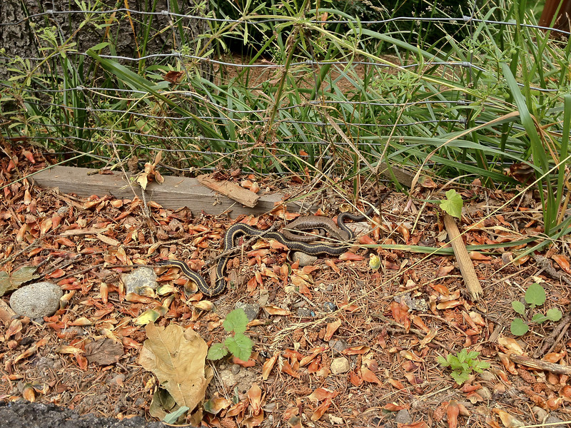 Northwestern Alligator Lizard and Garter Snake