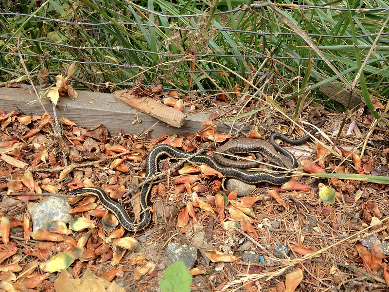 Northwestern Alligator Lizard and Garter Snake<br /> They seem pretty comfortable in each others company