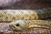 Grand Canyon Rattlesnake Snake