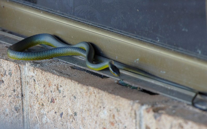 Green Tree Snake, by the bedroom door