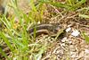 Garter Snake, Richland County, Wisconsin