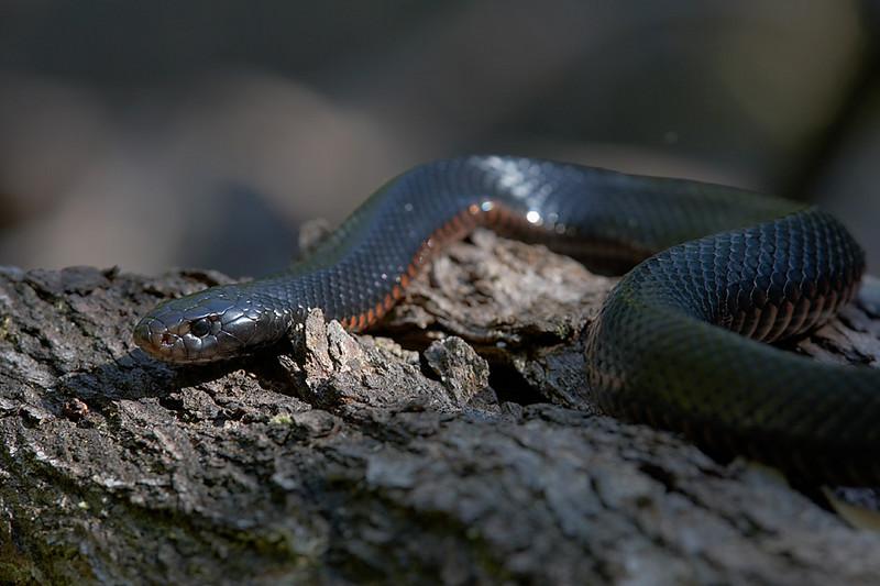 Red-bellied black snake, Lake Easham, North Queensland