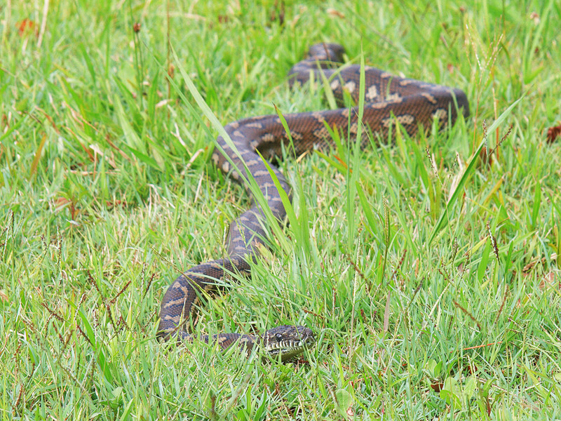 Carpet Python.  In our back paddock, Booyong.