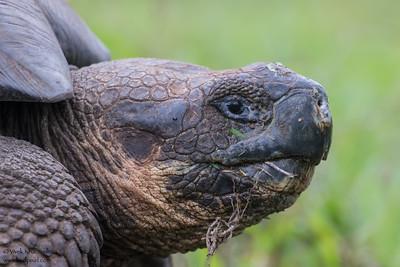 Galapagos Giant Tortoise - Isla Santa Cruz, Galapagos, Ecuador