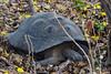 Galapagos Giant Tortoise - Urvina Bay, Isla Isabela, Galapagos, Ecuador