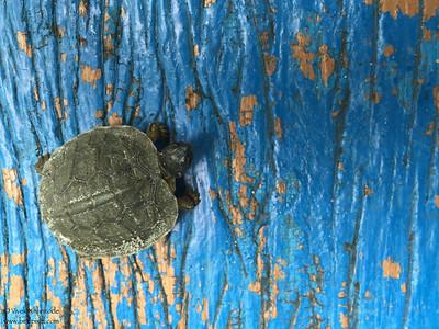 Mud slider turtle that Roni found - Crooked Tree, Belize