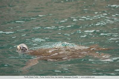 Pacific Green Turtle - Punta Vicente Roca, Isla Isabela, Galapagos, Ecuador