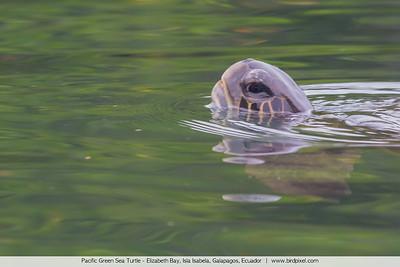 Pacific Green Sea Turtle - Elizabeth Bay, Isla Isabela, Galapagos, Ecuador