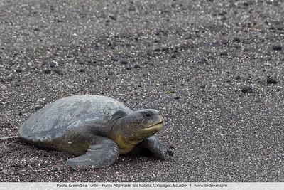 Pacific Green Sea Turtle - Punta Albemarle, Isla Isabela, Galapagos, Ecuador