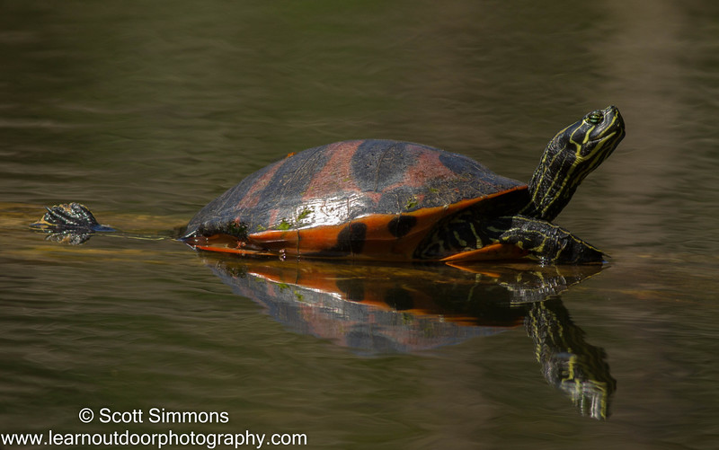 Florida Redbelly Turtle