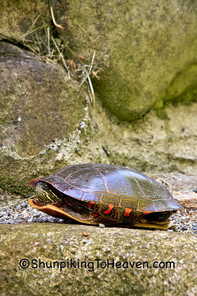 Painted Turtle on Stone Steps, Eaton County, Michigan