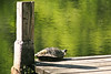 Painted Turtle on Pier, Barry County, Michigan