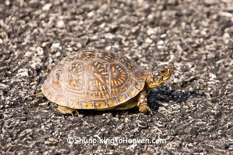 Common Box Turtle, Laclede County, Missouri