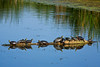 Painted Turtles Sunning on Log, Horicon NWR, Wisconsin