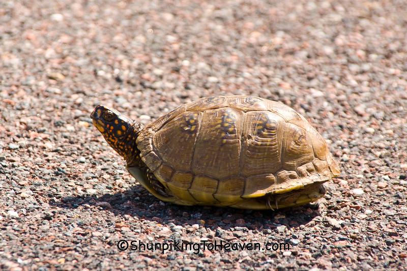 Common Box Turtle, Phelps County, Missouri