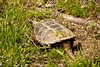 Common Snapping Turtle, Webster County, Missouri