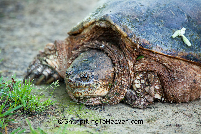 Common Snapping Turtle, Lafayette County, Wisconsin
