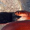 the red spitting cobra (naja pallida) eating a rat.