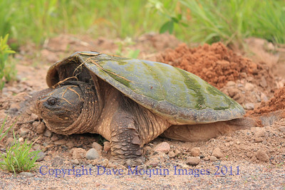 Snapping Turtle laying eggs- Upper N. Fork Flowage- Crex Meadows