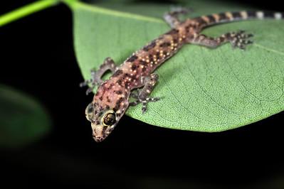 Baby Mediterranean Gecko on a Sissoo leaf