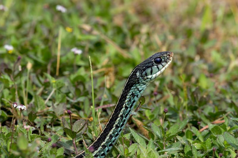 Blue stripped garner snake, central Florida taken by Jerry Dalrymple