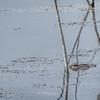 American alligator, Lake Apopka taken by Jerry Dalrymple