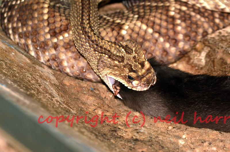 Eastern diamondback rattlesnake eating a rat. This is the largest rattlesnake and the largest of the venomous snakes.