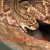 Eastern diamondback rattlesnake eating a rat. This is the largest rattlesnake and the largest of the venomous snakes.