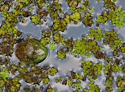 American Bullfrog sitting in duck weed.
