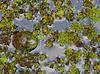 American Bullfrog sitting in duck weed.