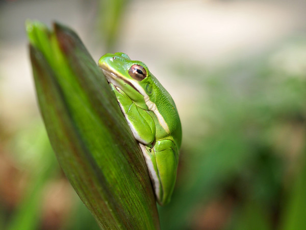 Green Tree Frog on Lilly Bud - Lake Fork, Texas  Order Code: A6