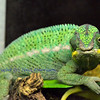 I'm keeping an eye on you. A chameleon keeps looks forwards with one eye, while the other one scans behind it.