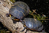 Painted turtle - Chrysemys picta.