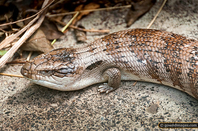 Eastern Blue-tongued Lizard in metropolitan Melbourne