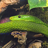 the green mamba, a highly dangerous arboreal snake, generally not agressive, but it's venom contains an unpleasant cocktail of life threatening toxins