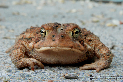 American toad: Alfred, NY