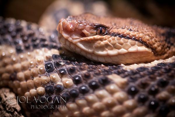 Aruba Rattlesnake