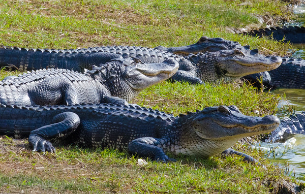 Breeding Group of Alligators in Florida Park
