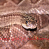 the red rattlesnake (crotalus ruber) also known as red diamondback.