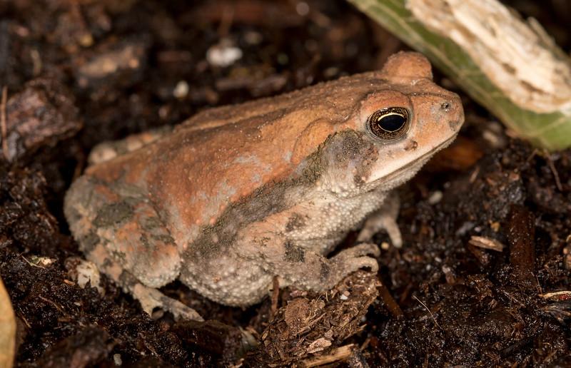 Gulf Coast Toad - Bufo nebulifer (juvenile)