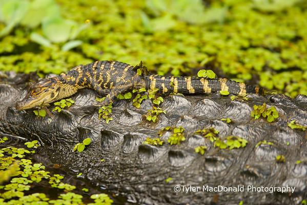 Baby alligator on its mothers back<br /> <br /> Corkscrew swamp