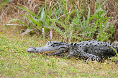 roadside_gator